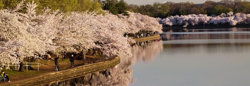 Cherry blossoms on the tidal basin, Washington, D.C.